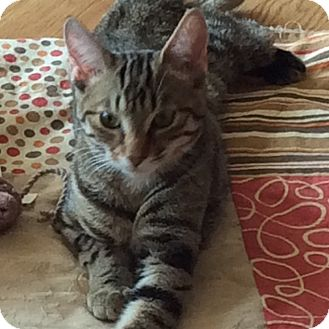 Domestic Shorthair Cat for adoption in Toronto, Ontario - Paddywhack