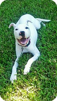 American Bulldog Mix Puppy for adoption in Navarre, Florida - Luna