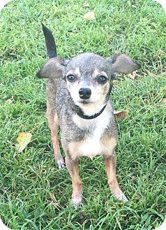 Chihuahua Mix Dog for adoption in Boca Raton, Florida - Cha Cha