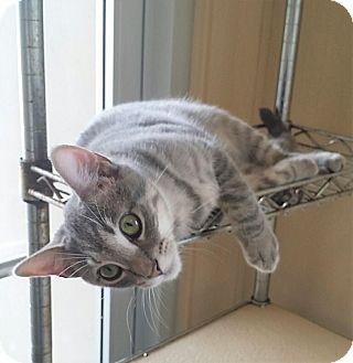 American Shorthair Kitten for adoption in Fredericksburg, Texas - Storm