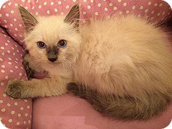 Siamese Kitten for adoption in Metairie, Louisiana - Sumo