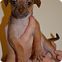 Adopt A Pet :: Hazel, 8 week it. greyhound-Terrier puppy - Arlington, WA