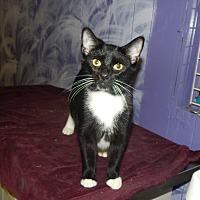Adopt A Pet :: Shadowhunter - Holden, MO