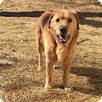 Adopt A Pet :: Butchy - Staunton, VA
