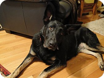 German Shepherd Dog Dog for adoption in Greeneville, Tennessee - Misha