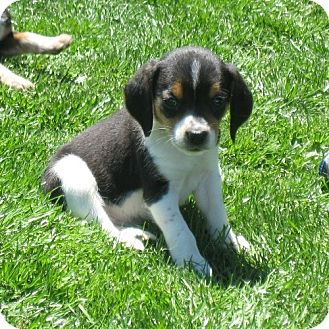 Beagle Mix Puppy for adoption in Novi, Michigan - Softy
