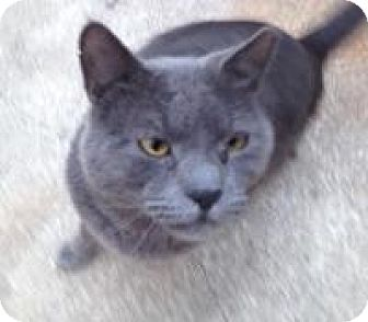 Russian Blue Cat for adoption in Medford, New Jersey - Specter (Vince's cat)