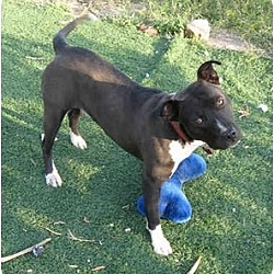 Photo 2 - American Staffordshire Terrier/Labrador Retriever Mix Dog for adoption in Toluca Lake, California - Jesse James