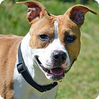 Adopt A Pet :: Saber - Troy, MI