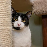 Adopt A Pet :: Silver - Stone Mountain, GA
