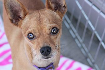 Chihuahua/Terrier (Unknown Type, Small) Mix Dog for adoption in Los Angeles, California - Lou