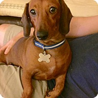 Dachshund Dog for adoption in Houston, Texas - Cotton Hill