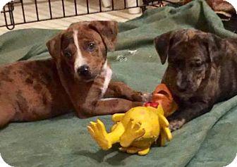 Boxer/Hound (Unknown Type) Mix Puppy for adoption in Crestview, Florida - Brady