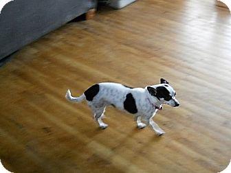 Chihuahua Dog for adoption in dewey, Arizona - Abby