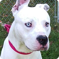 Pit Bull Terrier Dog for adoption in Kendallville, Indiana - Benny