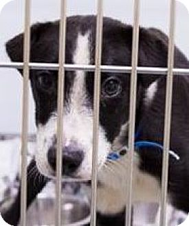 Labrador Retriever/Border Collie Mix Puppy for adoption in Leesburg, Virginia - Tommy