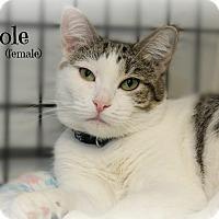 Domestic Shorthair Cat for adoption in Glen Mills, Pennsylvania - Nicole
