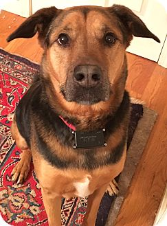 Shepherd (Unknown Type) Mix Dog for adoption in Portland, Maine - Homer - MA