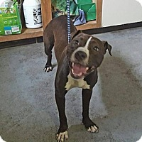 Boxer Mix Dog for adoption in Beckley, West Virginia - Mia