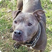Staffordshire Bull Terrier/American Pit Bull Terrier Mix Dog for adoption in Bruce Township, Michigan - Schindler