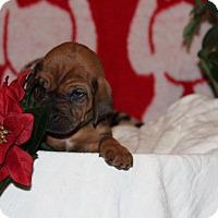 Adopt A Pet :: Balou - Waldorf, MD