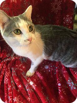 American Shorthair Kitten for adoption in Butner, North Carolina - Pepper