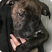 Adopt A Pet :: Leah - Manteca, CA