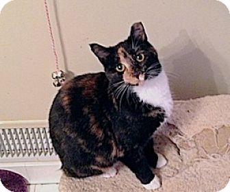 Domestic Shorthair Cat for adoption in Fowlerville, Michigan - Yin and Yang URGENT