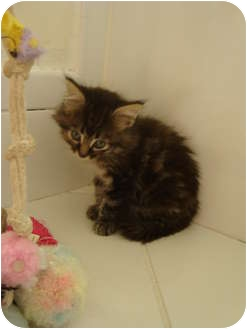 Domestic Mediumhair Kitten for adoption in Coral Springs, Florida - Muffin