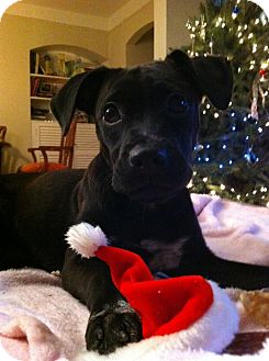 Terrier (Unknown Type, Small)/Labrador Retriever Mix Puppy for adoption in Madison, New Jersey - Jade