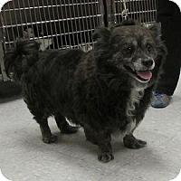 Adopt A Pet :: Hopi - Gilbert, AZ