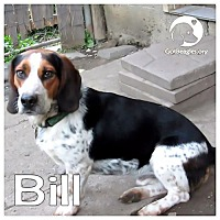 Adopt A Pet :: Bill - Novi, MI