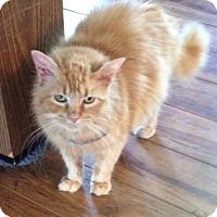 Adopt A Pet :: Shasti FIV+ No adoption fee - McDonough, GA