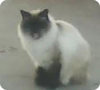 Himalayan Cat for adoption in Lincoln, Nebraska - Monkey