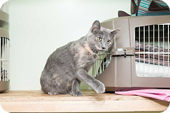 Domestic Shorthair Cat for adoption in Chicago, Illinois - Orchid