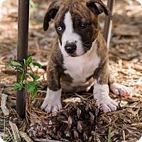 Adopt A Pet :: Azul - Weeki Wachee, FL