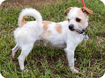 Chihuahua Mix Dog for adoption in Upper Marlboro, Maryland - *NIPPY