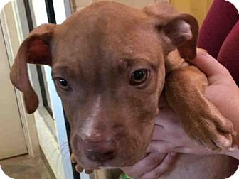 Pit Bull Terrier Puppy for adoption in Texas City, Texas - BUGSY