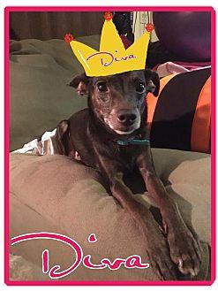 Rat Terrier/Miniature Pinscher Mix Dog for adoption in Cheney, Kansas - Diva