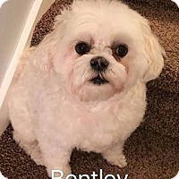 Maltese Dog for adoption in Indianapolis, Indiana - Bentley