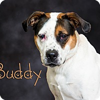 St. Bernard/Hound (Unknown Type) Mix Dog for adoption in Somerset, Pennsylvania - Buddy