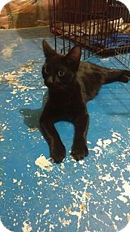Domestic Shorthair Cat for adoption in Toronto, Ontario - Sparrow