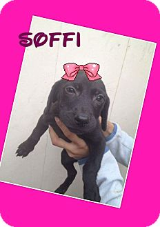 Labrador Retriever/Retriever (Unknown Type) Mix Puppy for adoption in LAKEWOOD, California - Soffie