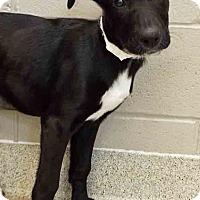 Labrador Retriever Mix Puppy for adoption in Oswego, Illinois - Aurora