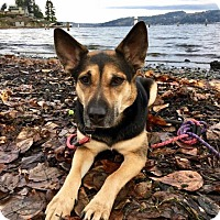 Adopt A Pet :: Bailey - Woodinville, WA