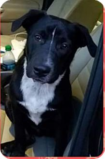 Akita/German Shorthaired Pointer Mix Dog for adoption in Spring, Texas - Dakota