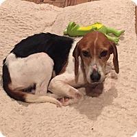Adopt A Pet :: Sage - Summerville, SC