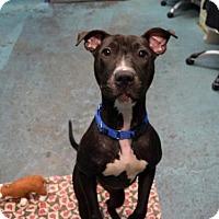 Adopt A Pet :: JESSIE - Brooklyn, NY