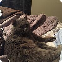 Adopt A Pet :: Benny - Reston, VA