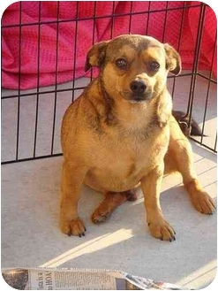 Chihuahua/Pug Mix Dog for adoption in Fowler, California - CHUNKY